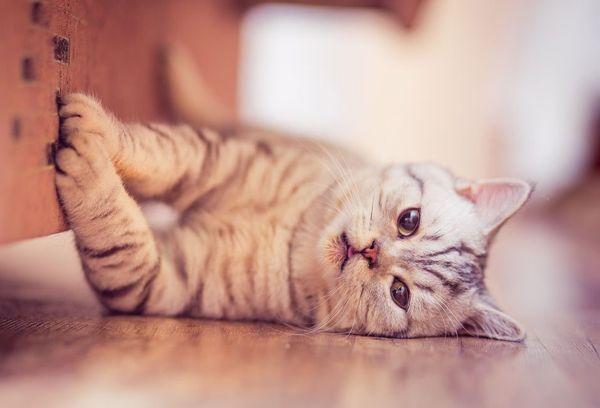 Лежачая на полу кошка