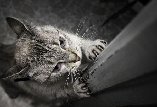 Кот затачивает когти
