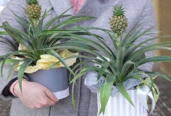 Выращенные ананасы в домашних условиях