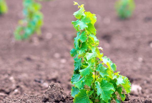 Саженец винограда на участке