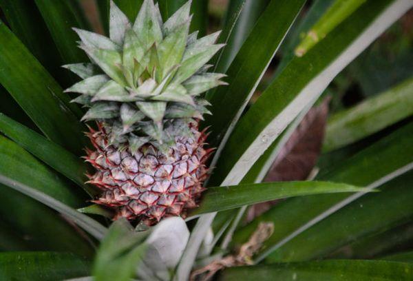 Молодой плод ананаса